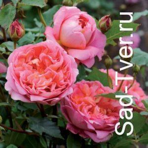 Розы David Austin Roses (Англия)