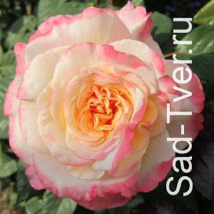 Розы Braca Topalovic (Сербия)