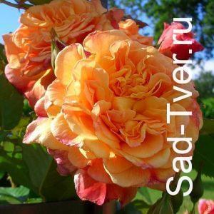Розы Kordes (Польша)