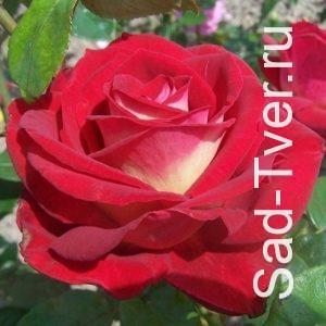 Розы (Польша)